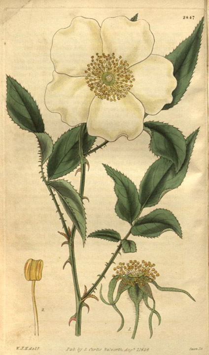 The Legend Of The Cherokee Rose