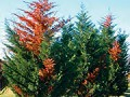 Description and epidemiology of Seiridium and Botryosphaeria canker diseases of Leyland cypress.