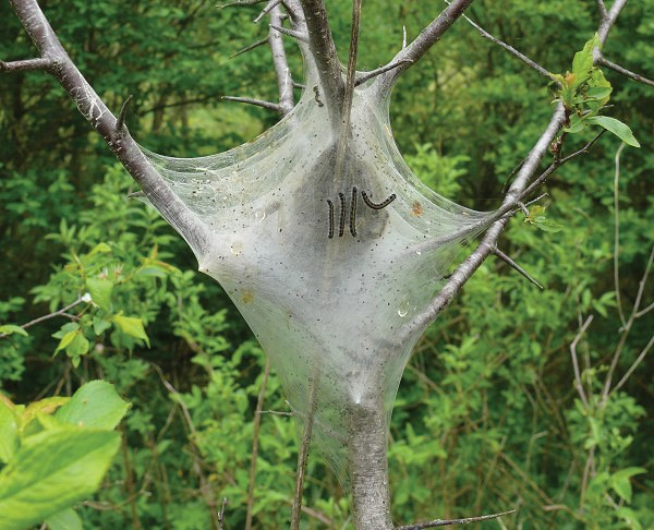 Eastern Tent Caterpillars & Eastern Tent Caterpillars - Appalachian Country Living Magazine