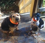Maxine & Billy Zoom ready for deer hunting season with their bright orange Buffs. Deer can be standing in our driveway and these two have absolutely no interest. Things that live in a hole in the ground, now you're talkin'- er- barkin'- woof!
