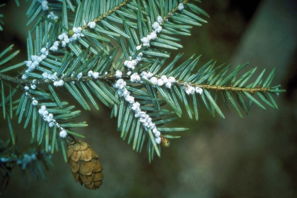 Time to treat those hemlocks for Hemlock Woolly Adelgid