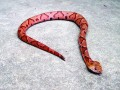 Garden_copperhead